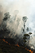 Niaouli (Melaleuca quinquenervia) savanna fire in the municipality of Dumbéa. New Caledonia.