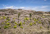 Introduced agaves invading a landscape degraded by fire and pasture creation in the Poingam region. North Province. New Caledonia.