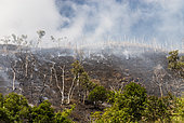 Niaouli (Melaleuca quinquenervia) savanna fire in the municipality of Poya. New Caledonia.