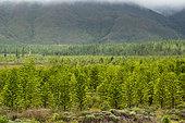 Plantation of Cook pines (Araucaria columnaris). Endemic species. Plain of the Lakes. Commune of Yaté. New Caledonia.