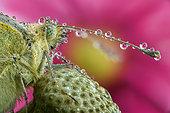 Closeup of a Cabbage butterfly head (Pieris brassicae), Luzzara, Reggio Emilia, Italia