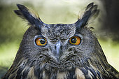 Portrait of Eagle Owl (Bubo bubo), Italy