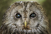 Portrait of Tawny owl (Strix aluco), Italy