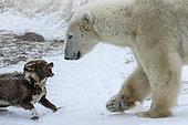 Ours polaire se rapprochant d'un Chien de traîneau, Manitoba, Canada