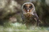 Melanic Barn Owl (Tyto alba) on ground, Italy