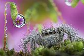 Wet jumping spider under dew