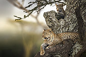 Leopard (Panthera pardus), mother and baby resting on acacia tree, Serengeti, Tanzania
