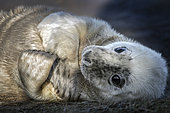 Portrait of young gray seal (Halichoerus grypus), Louth, Donna Nook, UK