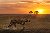 Cheetah (Acinonyx jubatus) walking at sunset, Serengeti Tanzania
