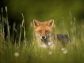 A Red Fox (Vulpes vulpes) Vixen approaches in the Peak District National Park, UK