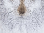 The whiskers of a Mountain Hare (Lepus timidus) in the Cairngorms National Park, UK. A resting Mountain Hare gave me the great opportunity to capture some of the intricate details of his fur and whiskers.
