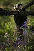 A European Badger (Meles meles) strips the bark off an Elder tree in the Peak District National Park, UK.