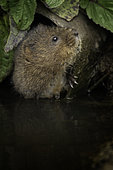 A Water Vole (Arvicola amphibius) peers out from a pipe near the Peak District National Park, UK
