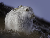 A Mountain Hare (Lepus timidus) rests on the mountainside in the Cairngorms National Park, UK.
