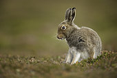 A Mountain Hare (Lepus timidus) preens amongst the heather in the Cairngorms National Park, UK