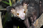 Portrait of Aye-aye (Daubentonia madagascariensis) surprised adult hunting insects, East Madagascar