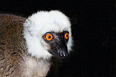 Portrait of White-fronted brown lemur (Eulemur albifrons) adult male, East Madagascar