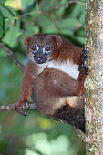 Red-bellied lemur (Eulemur rubriventer) adult female in the canopy leaning on a branch, East Madagascar