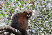 Red-bellied lemur (Eulemur rubriventer) adult female in the canopy on a trunk, East Madagascar