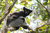 Indri (Indri indri) adult female and her young in the canopy in the morning, East Central, Madagascar