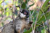 Common brown lemur (Eulemur fulvus fulvus) adulte mangeant des pousses dans la canopée, Est Madagascar
