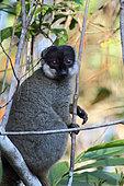 Common brown lemur (Eulemur fulvus fulvus) adult surprised in the canopy, East Madagascar