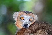 Portrait of Crowned Lemur (Eulemur coronatus) adult male, tail on the shoulder, Northern Madagascar