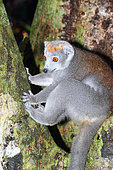 Crowned lemur (Eulemur coronatus) adult female leaning against an observing trunk, Northern Madagascar