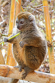 Gray bamboo Lemur (Hapalemur griseus griseus) adult eating a piece of bamboo, East Madagascar