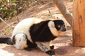 Ruffed lemur (Varecia variegata) adult on ground in forest, east coast, Madagascar
