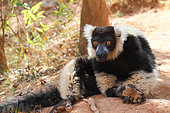 Ruffed lemur (Varecia variegata) adult sitting on the ground in the forest resting, East coast, Madagascar