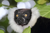 Portrait of Ruffed lemur (Varecia variegata) adult in the canopy, East coast, Madagascar