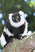 Ruffed lemur (Varecia variegata) adult on a branch, East coast, Madagascar