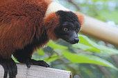 Red ruffed lemur (Varecia rubra) adult, Masoala Peninsula, Madagascar