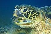 Green turtle (Chelonia mydas) eats sea grass, animal portrait, Sabang Beach, Mindoro, Philippines, Asia