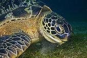 Green sea turtle (Chelonia mydas) eats sea grass, animal portrait, Sabang Beach, Mindoro, Philippines, Asia