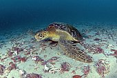 Green turtle (Chelonia mydas) eats Long-eyed Swimming Crab (Podophthalmus nacreus), dead after oviposition, Cocos Island, Costa Rica, Central America