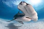 Great hammerhead shark (Sphyrna mokarran), Bimini, Bahamas, Central America