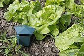 Slug trap in a kitchen garden in Heurteauville, Seine-Maritime, Normandy, France