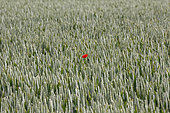 Poppy (Papaver rhoeas) in a wheat field in Seine-Maritime, Normandy, France