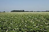 "Potato field in bloom, variety ""Everest"", Seine-Maritime, Normandy, France"