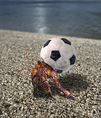 Hermit crab using a small plastic football ball as a shell. Funny wildlife. Seychelles - Composite image. Composite image