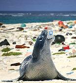 Phoque moine hawaïen (Neomonachus schauinslandi) jouant avec une bouteille en plastique vide sur une plage recouverte de déchets en plastique. Hawaï - Photomontage. Image composite