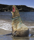 Sea lion, with nylon strings and piece of fishing net wrapped around his neck that caused him a deep wound.