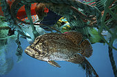 Atlantic tripletail or tripletail (Lobotes surinamensis), hidden in the middle of floating trash. Adults are often found near the surface over deep, open water, although always associated with floating objects or Sargasso. Atlantic ocean offshore Madeira - Composite image. Composite image