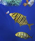 Carangue royale (Gnathanodon speciosus) mangeant une bouteille en plastique, Mer des Caraïbes - Photomontage. Image composite