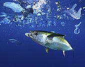 Yellowfin tuna, Thunnus albacares eating a styrofoam cup. Atlantic ocean - Composite image. Composite image