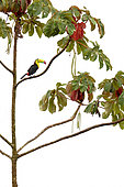 Keel-billed toucan (Ramphastos sulfuratus) on a branch, Primary forest, Costa-Rica