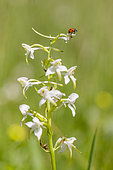 Seven-spotted ladybird (Coccinella septempunctata) on a Greater butterfly-orchid (Platanthera chlorantha), Alsace, France