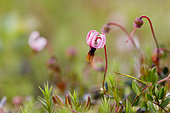 Flower of Bog cranberry (Vaccinium oxycoccos), Forlet peatbog, Alsace, France